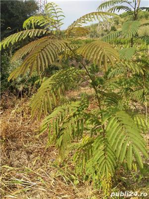 Arbore de matase (albizia) 1.8-2 m - imagine 3