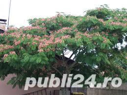 Arbore de matase (albizia) 1.8-2 m - imagine 4