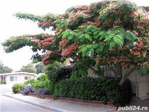 Arbore de matase (albizia) 1.8-2 m - imagine 5
