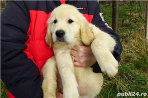 vand pui de golden retriever - imagine 1