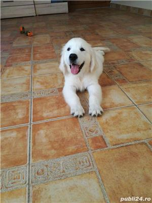 vand pui de golden retriever - imagine 3
