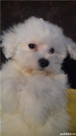 catei Bichon Maltese alb mini  - imagine 7