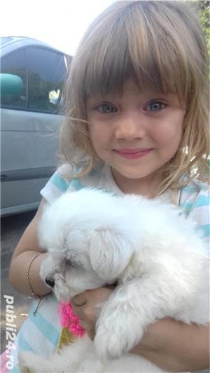 catei Bichon Maltese alb mini  - imagine 6