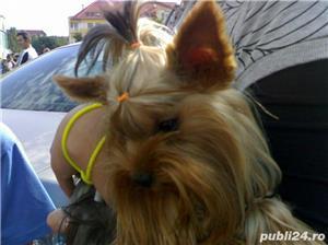 Yorkshire Terrier Talie Mini Toy  - imagine 8