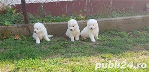 Vand samoyed!! - imagine 1