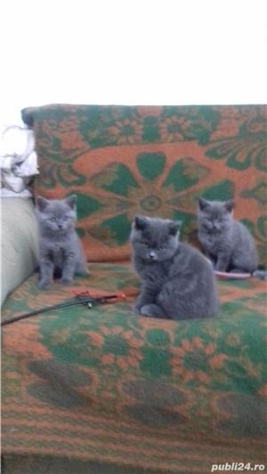 British Sshorthair blue. - imagine 1