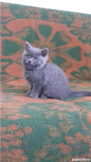 British Sshorthair blue. - imagine 2