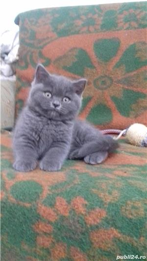 British Sshorthair blue. - imagine 3
