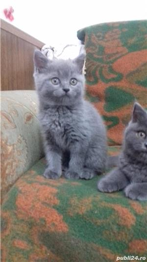 British Sshorthair blue. - imagine 5