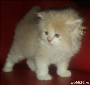 vand pui pisici norvegiana de padure de exceptie crescuti in casa - imagine 2
