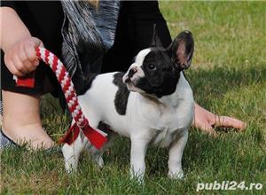 Bulldog Francez, negri si bej, 2 luni - imagine 3