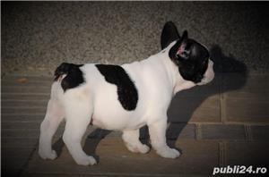Bulldog Francez, negri si bej, 2 luni - imagine 8