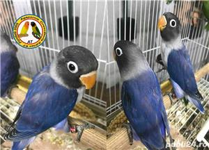 Vand papagali Agapornis - imagine 2