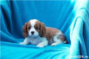 Vand catei Cavalier King Charles  - imagine 1