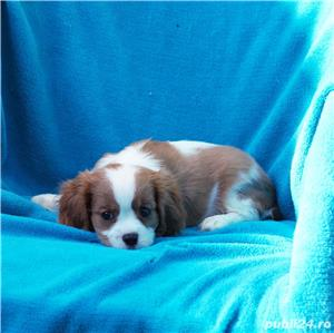 Vand catei Cavalier King Charles  - imagine 2