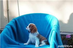 Vand catei Cavalier King Charles  - imagine 3