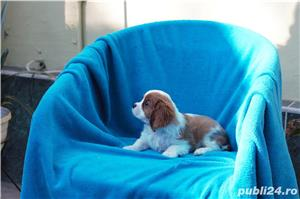 Vand catei Cavalier King Charles  - imagine 6