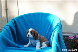 Vand catei Cavalier King Charles  - imagine 4