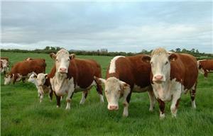 Cumpar vaci transport gratuit pret bun bani pe loc - imagine 1