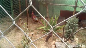 Cumpar fazani  - imagine 1