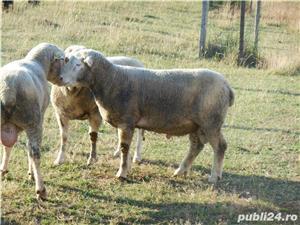 Berbeci de rasa de carne Ile de France  - imagine 6