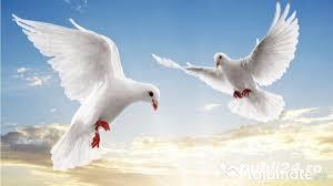 * VAND si INCHIRIEZ porumbei albi pentru NUNTI in sibiu - imagine 2