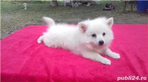 catei Spitz pitic Pomeranian Poze - imagine 4