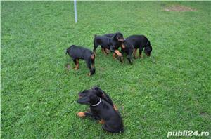 Vand catei dobermann - imagine 3