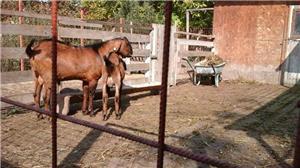 capre de rasă  - imagine 3