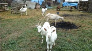 capre de rasă  - imagine 5