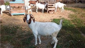 capre de rasă  - imagine 6