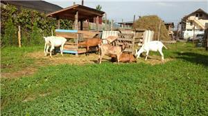 capre de rasă  - imagine 7