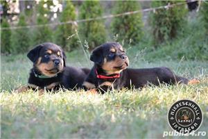 Rottweiler pui cu pedigree de vanzare  - imagine 5
