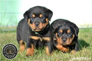 Rottweiler pui cu pedigree de vanzare  - imagine 3