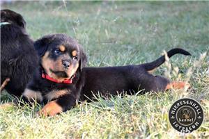Rottweiler pui cu pedigree de vanzare  - imagine 6