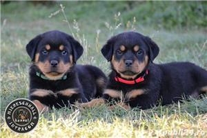 Rottweiler pui cu pedigree de vanzare  - imagine 2