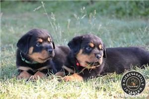 Rottweiler pui cu pedigree de vanzare  - imagine 4
