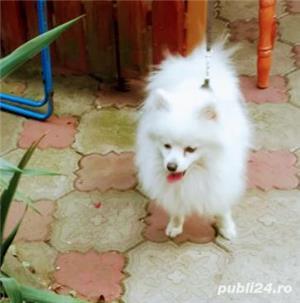 catei Spitz pitic Pomeranian Poze - imagine 9