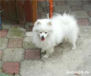 catei Spitz pitic Pomeranian Poze - imagine 6