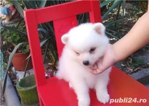 catei Spitz pitic Pomeranian Poze - imagine 8