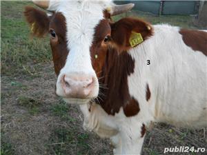 Vand vaci si vitei - imagine 4