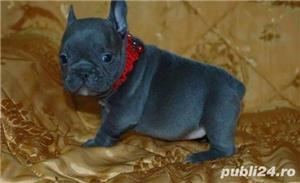 Pui femele si masculi  de bulldog-buldog francez blue,gri,albastru - imagine 1