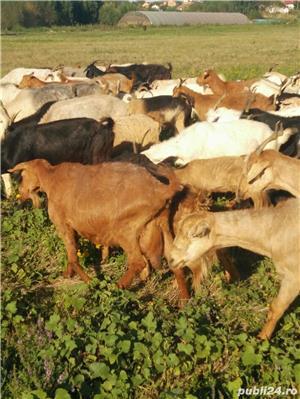 Turma de capre - imagine 6