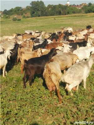 Turma de capre - imagine 8