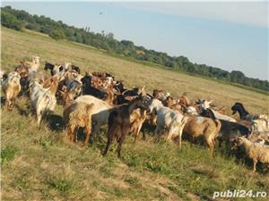 Turma de capre - imagine 5