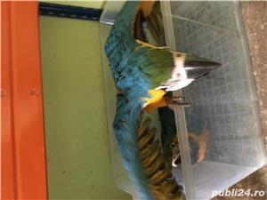 Vand pui papagali ara - imagine 4