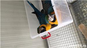 Vand pui papagali ara - imagine 3