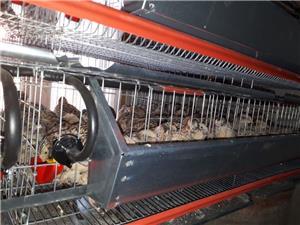 Oua de prepelite pentru consum si pentru incubație  - imagine 1