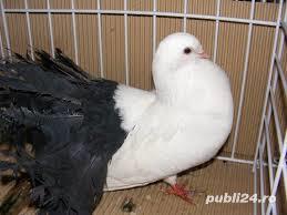 Vand porumbei voltati de diferite culori - imagine 8
