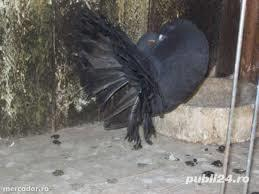 Vand porumbei voltati de diferite culori - imagine 5